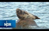 Mecklenburg-Vorpommern: (K)eine Chance für Kegelrobben? | NaturNah | NDR Doku