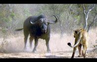 Afrika Von Bäumen und Tieren  Der Marulabaum und der Leopard Doku 720p i