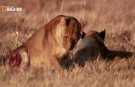 Afrikas cleverste Jäger  Erbitterter Wettkampf DOKU DEUTSCH