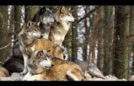 BBC Documentary 2017 – Animal Planet Wolves vs. Bison | Best Documentary BBC horizon 2017