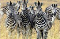 Bedrohte Wildnis (2/2) Botswana, auf den Fährten der Zebras