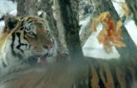 Big Five Asien – Der Amur Tiger Doku  – Tier Dokumentarfilm – Dokumentation DOKU 201