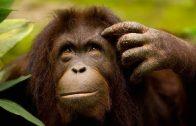 Der Affe – Das schlauste Tier der Welt – Doku 2017