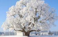 Deutschlands älteste Bäume (1/2) Hundert Jahre und viel mehr