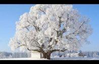 Deutschlands älteste Bäume (2/2) Die Tausendjährigen