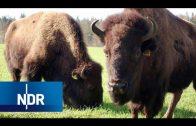 Die Bison-Brüder – Wildwest im Grenzland   NaturNah   NDR Doku