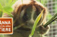 Die Feueraugen der Plumploris  | Reportage für Kinder | Anna und die wilden Tiere