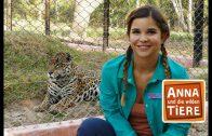 Die Raubkatzen von Brasilien  | Reportage für Kinder| Anna und die wilden Tiere