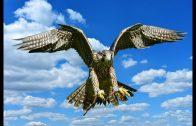 Die Welt der Falken (Tierfilm, Schulfilm für Kinder, Lehrfilm, Naturdoku, Naturfilm, Doku)