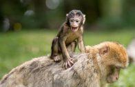DOKU | Affen: Heimliche Genies