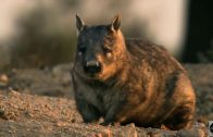 Doku Deutsch Australien Wombats