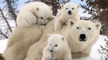 (Doku in HD) Eisbären auf der Flucht