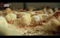 (Doku in HD) Tierfabrik Deutschland Von Billigfleisch und Wegwerfküken