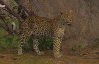 Ein Leopard mit kleinen Schwächen