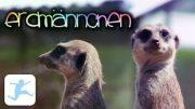 Erdmännchen-Babies entdecken die Welt (Ganze Tierdoku, Tierbabys, Doku in voller Länge, kostenlos)