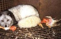 Grausam ausgeblutet! Tierfabriken in Deutschland Der Weg zum Billigfleisch Doku 2016 NEU i