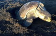 Im Nest der Meeresschildkröte – ARTE Doku