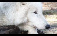 Wölfe (Tierdoku, auf Deutsch und in voller Länge, bei YouTube anschauen, Einzigartige Aufnahmen)