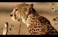 Die Geparden Familie (komplette Dokumentation auf deutsch, kostenlos ansehen, in voller Länge)