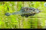 Königreich der Alligatoren – Natur Doku in voller Länge I Dokumentarfilm Tiere HD 2018