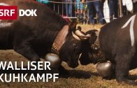 Kuhkampf im Wallis – Natalija und ihre Eringerkuh | Doku | SRF DOK