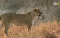 Löwen im Land der Giraffen