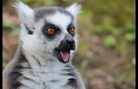 Madagaskar In den Wäldern der Lemuren Deutsch DOKU 2018 HD