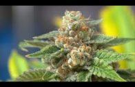 Medizin für alles – Holy Weed – Doku 2017 HD (NEU)