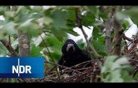 Mensch und Natur: Raben und Krähen im Norden | NDR Doku | DIE REPORTAGE