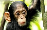 Mythos Kongo 2 Im Reich der Menschenaffen
