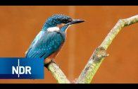 Seltenes Leben an der Seeve: Heimat für Eisvogel und Co. | NaturNah | NDR Doku