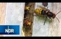 Nichts für schwache Nerven: Umzugshelfer für Hornissen   NaturNah   NDR Doku