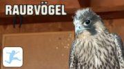 Raubvögel (Doku, Reportage, Tierdoku, deutsch, ganze Dokus, kostenlos anschauen)