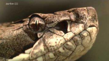 Schlangen geheimnissvoll und gefährlich  Doku HD