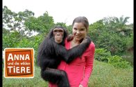 Schlau wie die Schimpansen  | Reportage für Kinder | Anna und die wilden Tiere