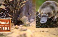 Schnabeltier & Schnabeligel  | Reportage für Kinder | Paula und die wilden Tiere