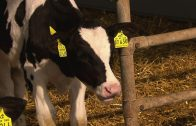 SPIEGEL TV Doku: Exportschlager Milch