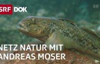 Stimme für die Fische | NETZ NATUR mit Andreas Moser | Doku | SRF DOK