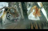 Tier Dokumentarfilm – Big Five Asien – Der Amur Tiger Dokumentarfilm Doku HD