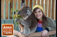 Voll süß Koala!  | Reportage für Kinder | Anna und die wilden Tiere