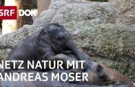 Was uns Elefanten sagen | NETZ NATUR mit Andreas Moser | Doku | SRF DOK