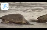 Wasserschildkröten (Schulfilm, Lehrfilm für Kinder, deutsch, HD, kostenlos, Dokumentation)