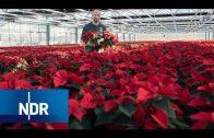 Weihnachtssterne   Vom Steckling bis zum Verkauf   Wie geht das?   NDR