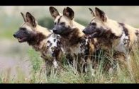 Wild Dogs National Geographic Documentary
