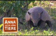 Willkommen in der Gürteltierwelt    Reportage für Kinder   Anna und die wilden Tiere
