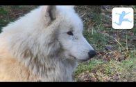 Wölfe (Tierdokumentation, Deutsch, Doku für Schüler, Doku für Kinder, Lehrfilm)
